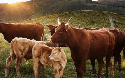 Carne ecológica de Cal Tomàs: ¡Compromiso «Mifune Neko»!