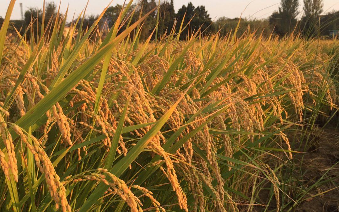 L'arròs, biològic i de l'Estany de Pals